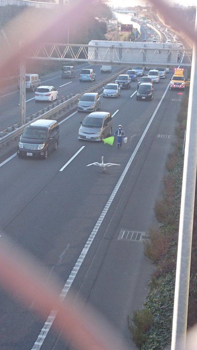 高速道路に白鳥きて大渋滞www pic.twitter.com/xOxpisw6HZ