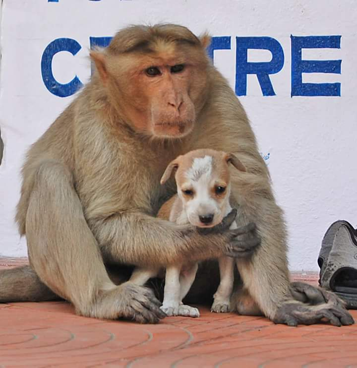 Monkey Adopts Puppy, Cuteness Ensues