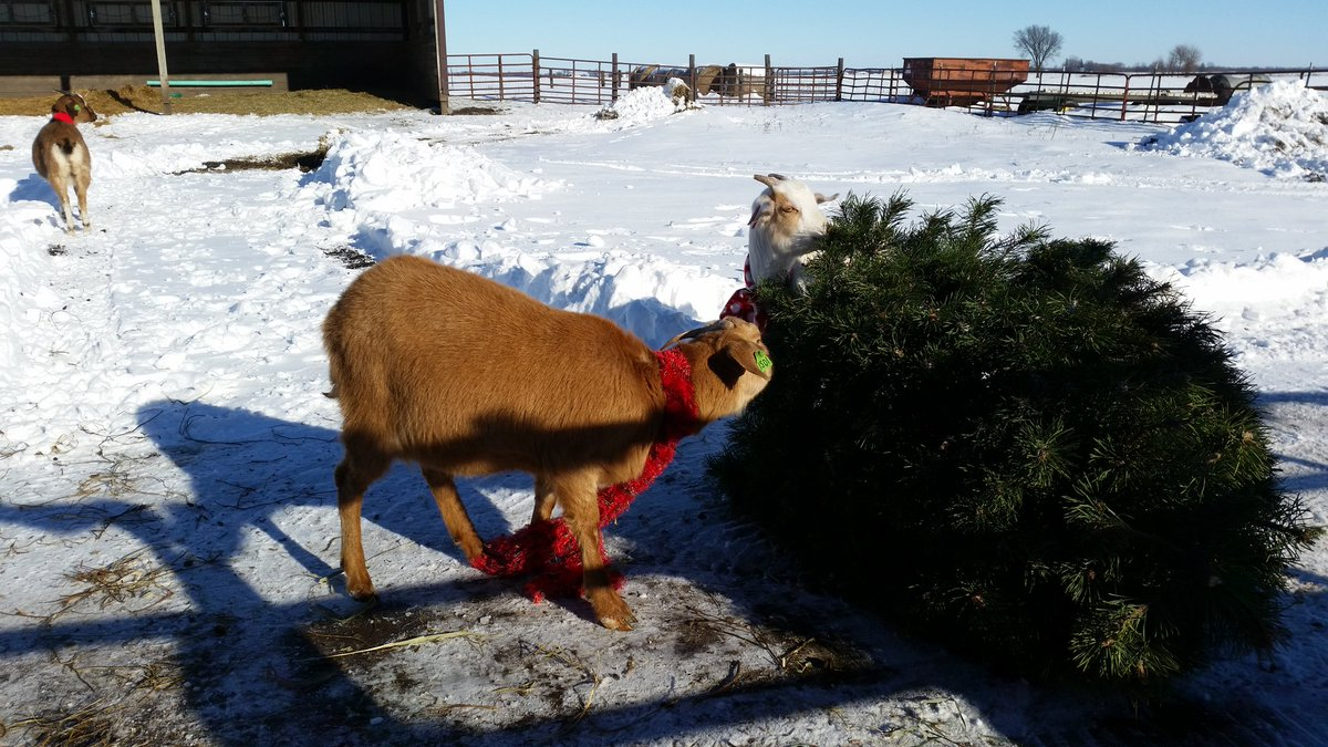 May Your Graze Be Merry And Bright: Goat Farms Enjoy