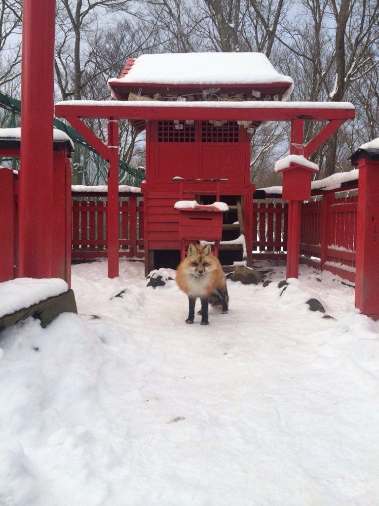 稲荷社から生狐。夢のような光景。#稲荷 #キツネ村 pic.twitter.com/o3vt2o5lhx