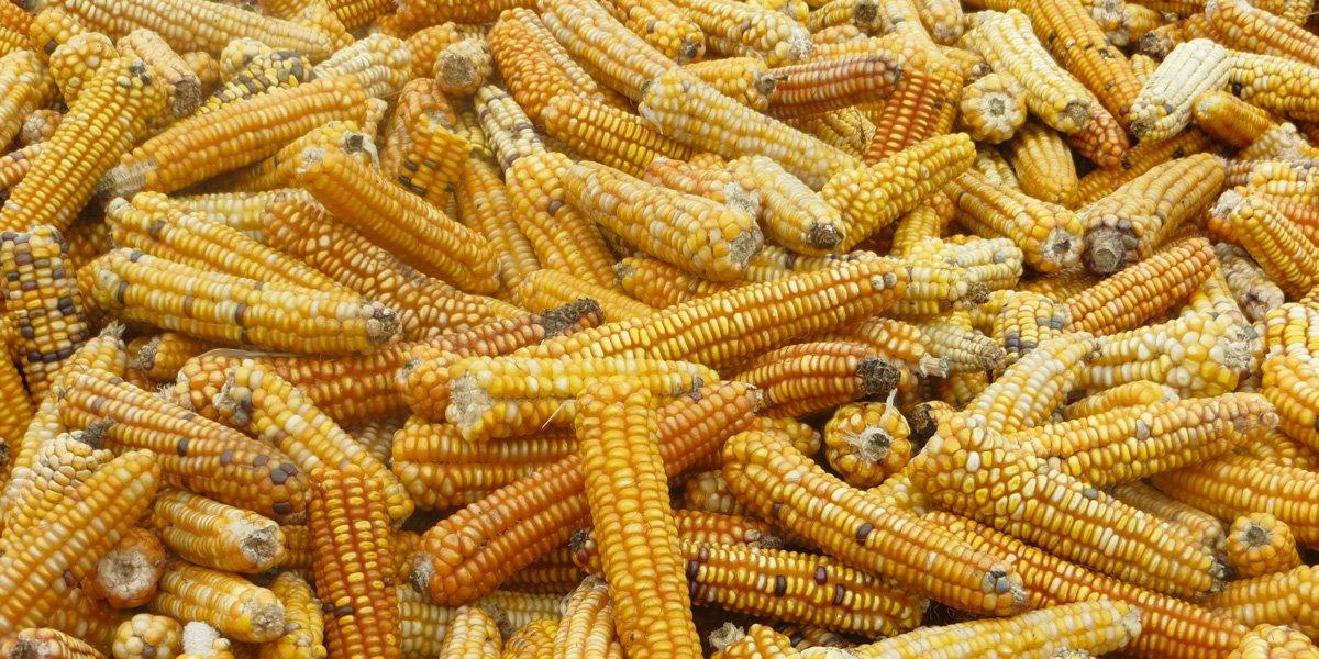 Monsanto's MON863 maize is withdrawn from the European market https://t.co/4xVPhuQ9v1 #gmo https://t.co/2B7QETBYbT