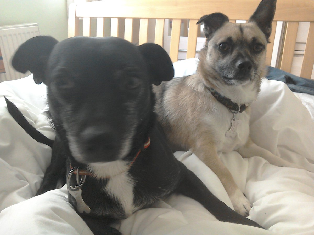 @GeeDubya67 @RSPCA_official Sam'n'Alf welcome Ozzy to the fabulous life of beloved rescue dogs