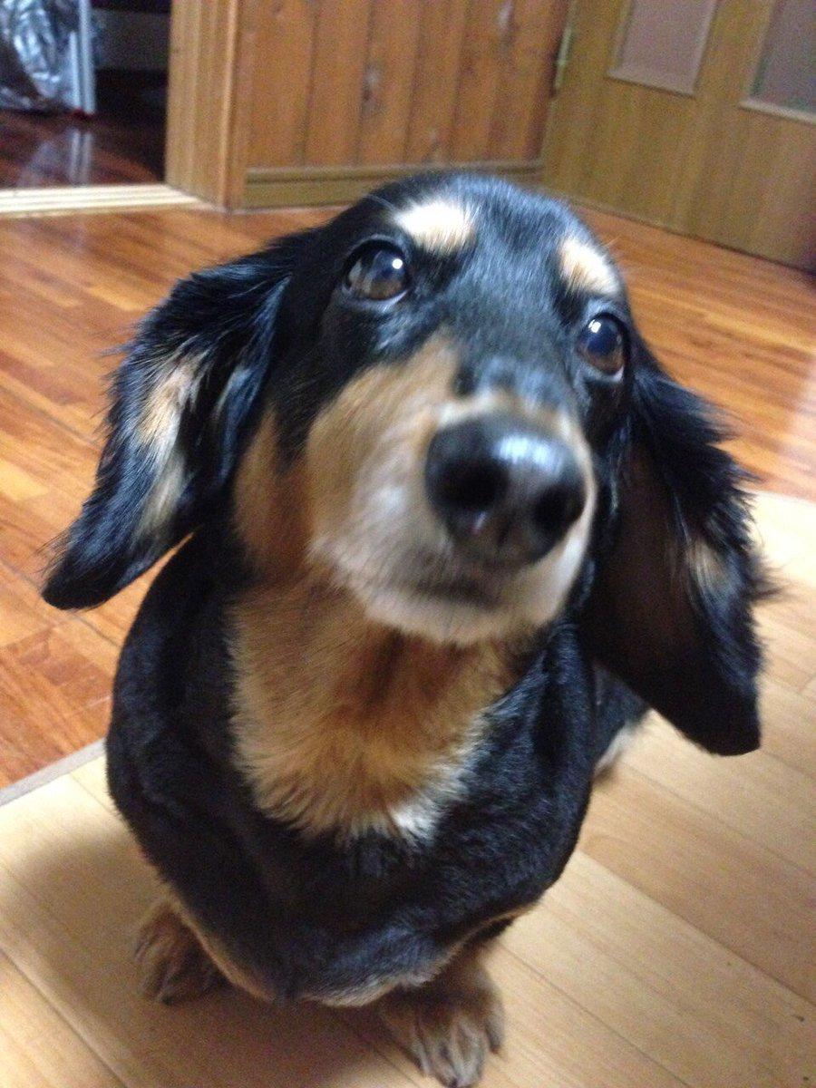 【拡散希望】知人の飼い犬が行方不明になりました。ミニチュアダックス、ミルク11歳、メスです。2015年12月26日より高崎市大橋町付近から迷子のままです。情報提供よろしくお願いします。#拡散希望 #迷い犬 #高崎市 https://t.co/DfkVeeYjjW