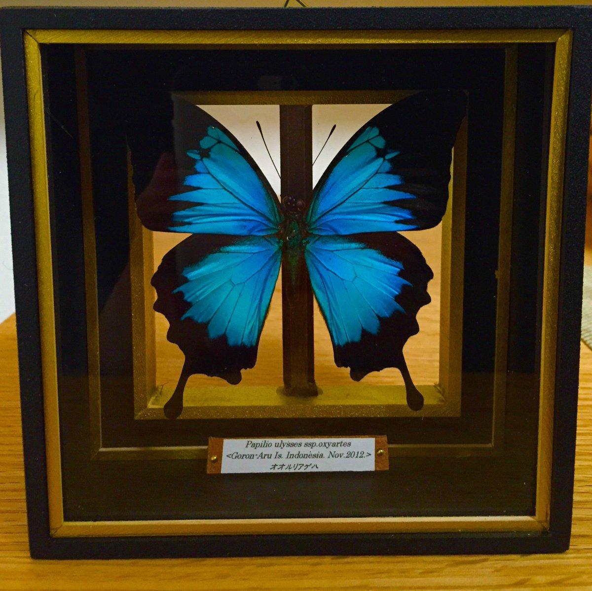 週末に六甲昆虫館さんでオオルリアゲハの標本を購入しました^_^ 光によって色が緑、青、紫と変化してとても美しい!箱も凝っていて素敵過ぎる>_< これはいいお店を教えて頂いたなー、また是非行かないと!