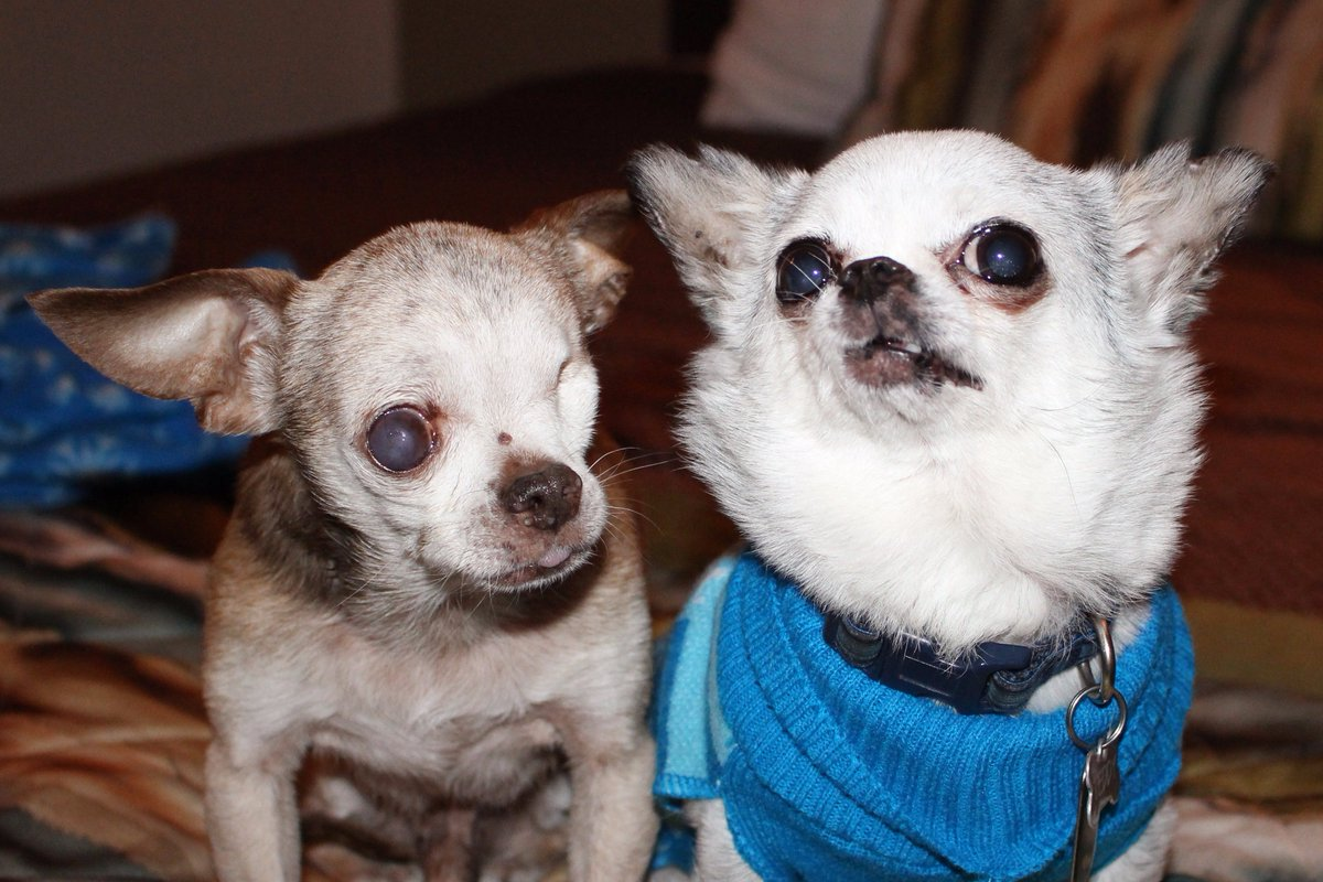Follow @Harley_Mill_Dog and @Teddy_Mill_Dog - Puppy mill survivors who are making a difference! #puppymills https://t.co/1Smvl4CMUI