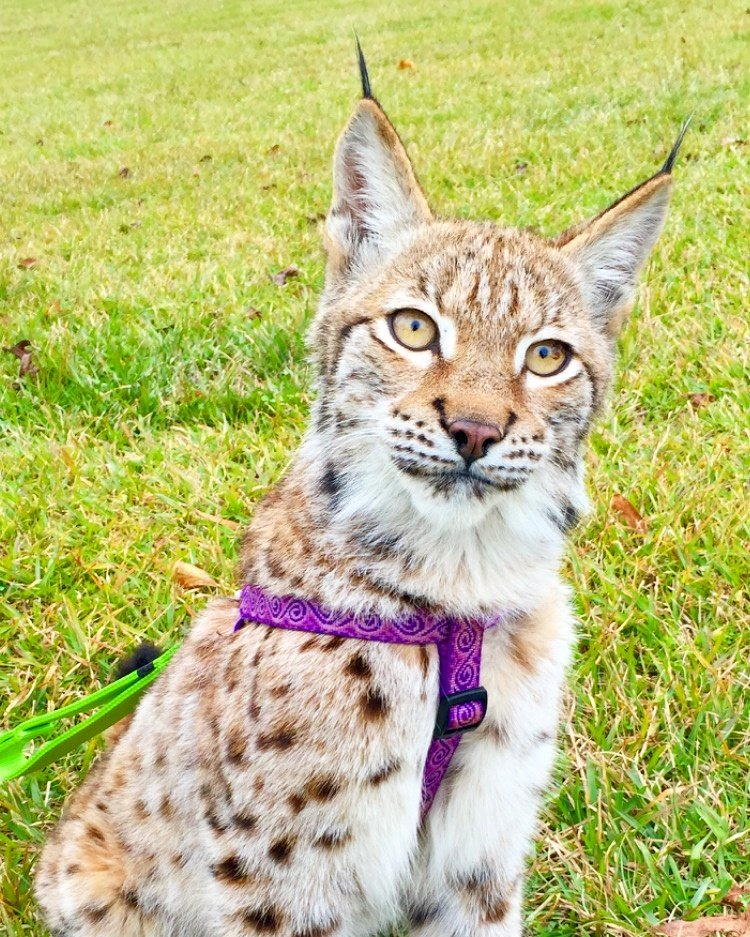 "Barn Hill Preserve On Twitter: ""Sasha, Our Eurasian Lynx"