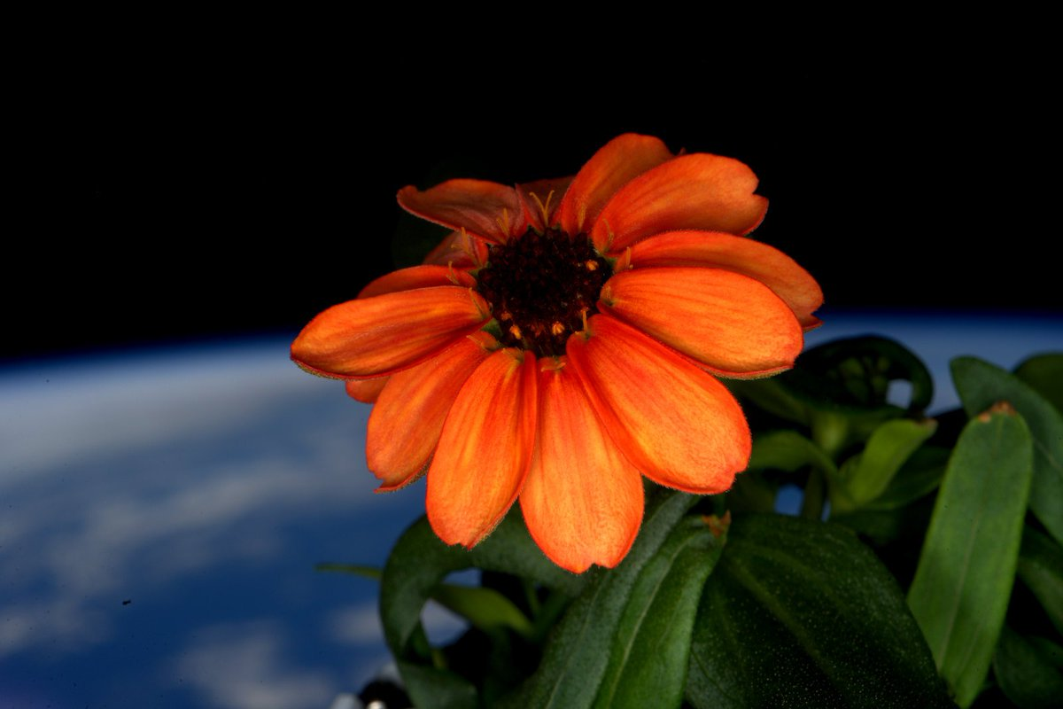 Micro-gravity gardening: first flower blooms in space