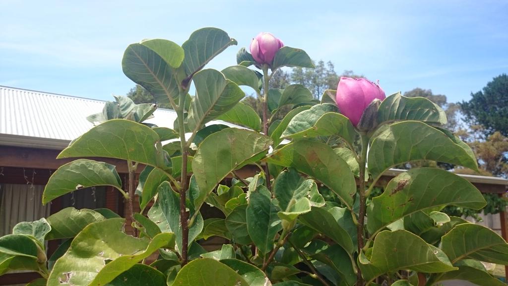 Marian Macdonald On Twitter Confused Black Tulip Magnolia