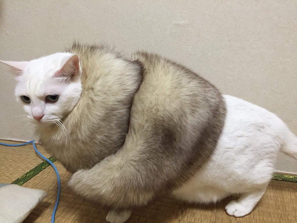 着物で付けるモフモフ猫に付けたwww pic.twitter.com/uBgnTWVbo0