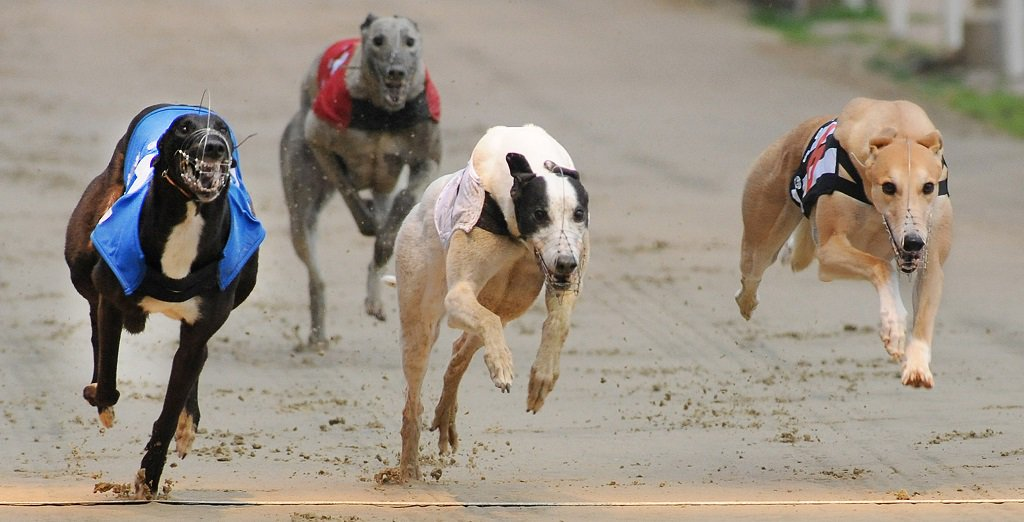 You can watch the dogs from Romford and Peterborough on #RPGTV tonight.  Watch here