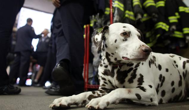 Beloved FDNY Dalmatian Who Comforted Firefighters After 9/11 Dies