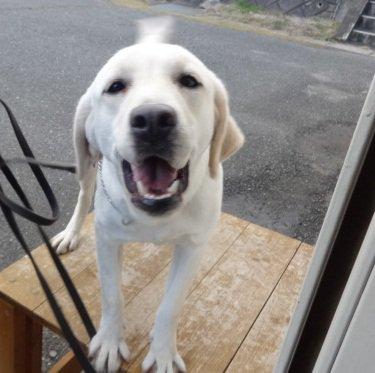 門司税関に麻薬探知犬「ブレンダ(BRENDA)号」が新たに仲間入りしたよ☆ ブレンダは、鋭い眼光を持つ元気いっぱいの女の子♪♪♪みんなの安全・安心な暮らしを守るために、今日も頑張るワン!U・ェ・)b https://t.co/MdodqjtnsJ