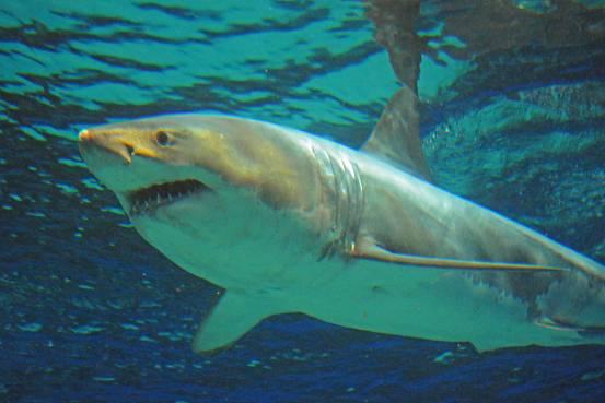 Ecco perché non riusciremo mai a domare i grandi squali bianchi