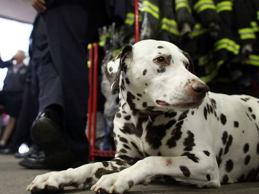 Twenty, the beloved Dalmatian donated to the @FDNY after 9/11, has died