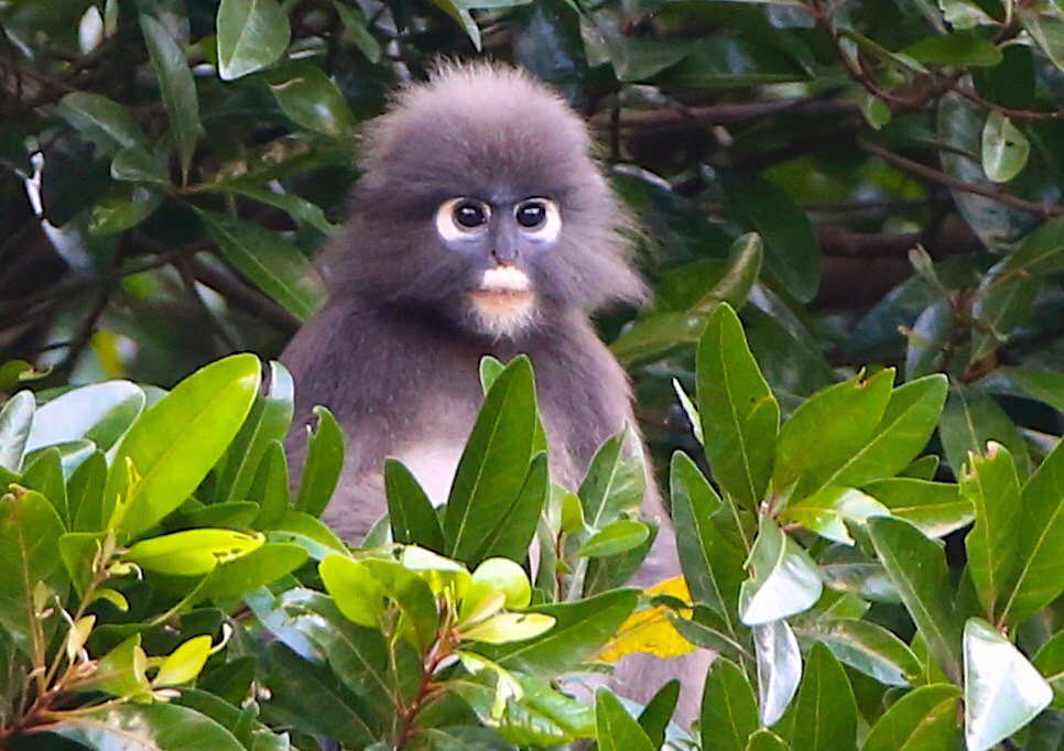 Cuteness alert! Came across a group of spectacled leaf monkeys in Penang, Malaysia. What a cracking animal. https://t.co/gWEoNJZNwd