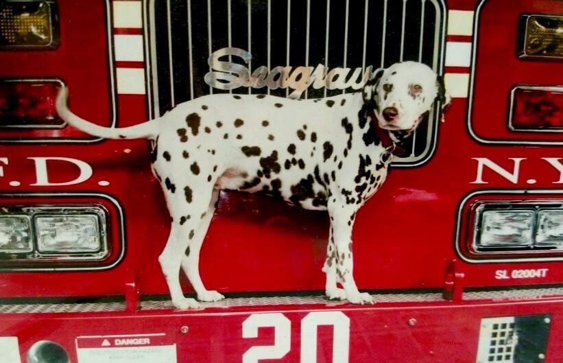 Addio alla amata dalmata Twenty, mascotte dei pompieri di NY