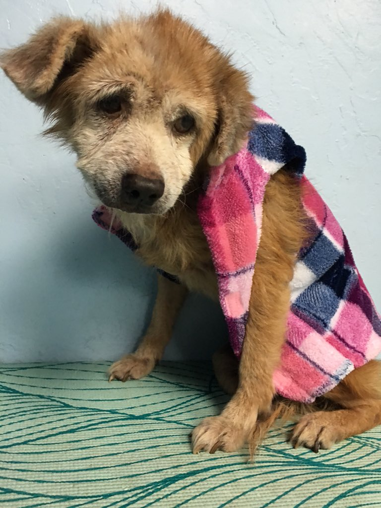 This sweet 15 year old #Tripod angel was dumped at our #Miami shelter today & needs a home! Someone please help