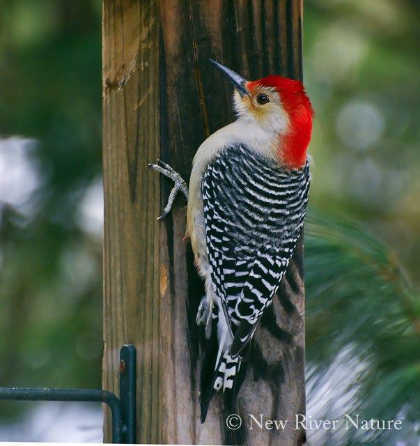 Red-bellied Woodpecker on the post ~   https://t.co/ysLh8KKJ6o ~ #birds #birdwatching - https://t.co/OMPHOMZdkH