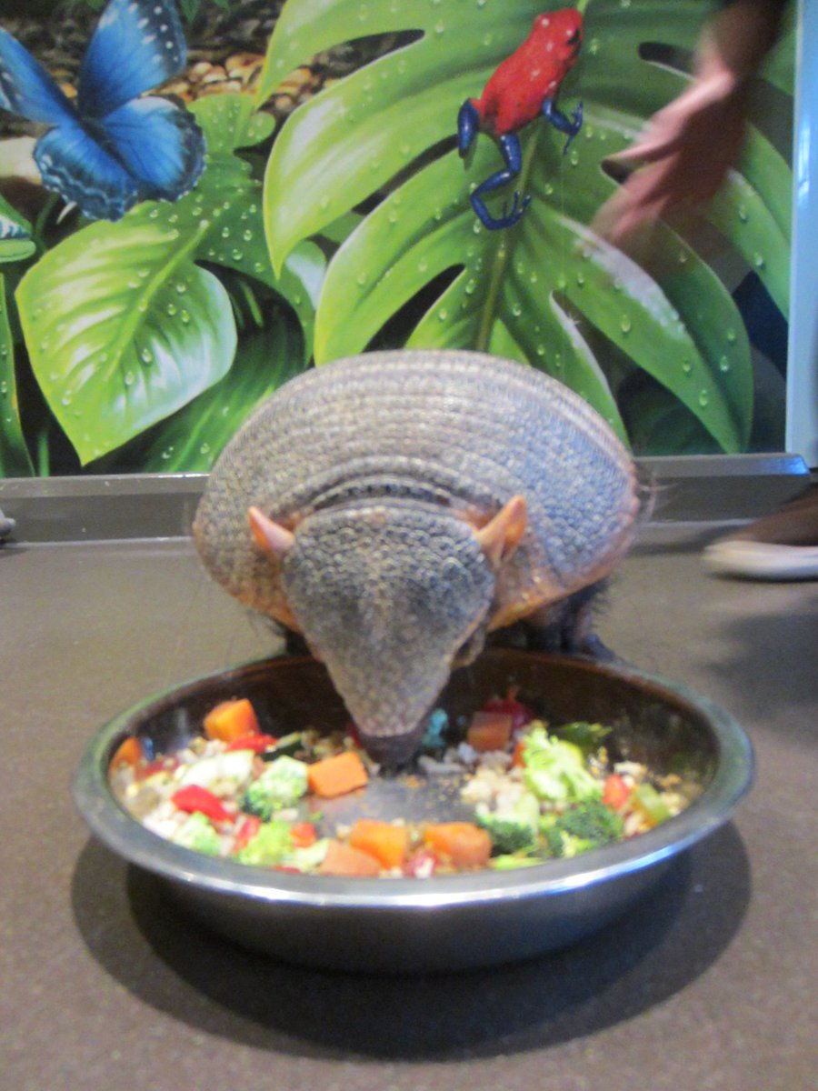 Chubby armadillo put on New Year's diet after overindulging on bugs