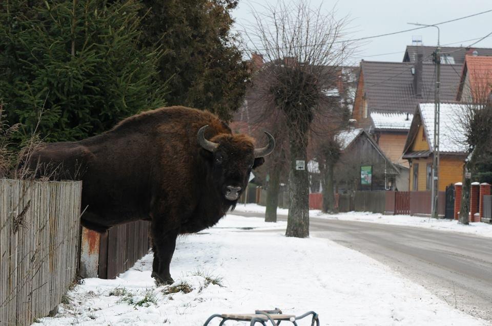 ポーランドの街中に現れたバイソン。こんなん出くわしたらちびるわ・・・pikabu.ru/story/zubr_pri… pic.twitter.com/16CttOB7lV