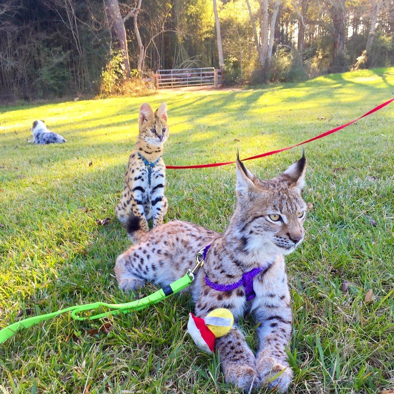 "Barn Hill Preserve On Twitter: ""Eurasian Lynx, Sasha, And"