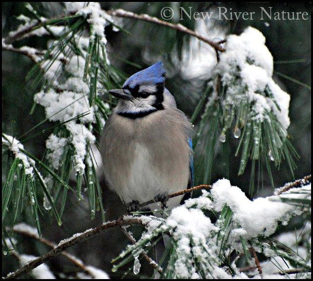 Blue Jay in the #Snow ~  https://t.co/CFDyAPxUtC ~ #birds #winter https://t.co/hVlR0ffzm5
