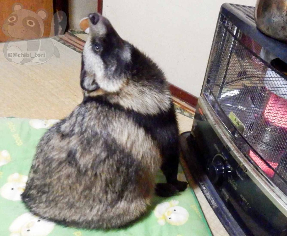 There's Something Called A Racoon Dog And A Guy In Japan Has One