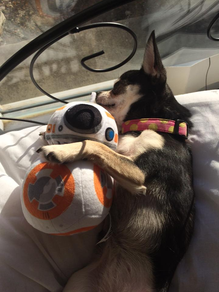 Everyone loves @StarWarsUK BB-8 even Pepper, our Chihuahua https://t.co/XwHMAw59HA
