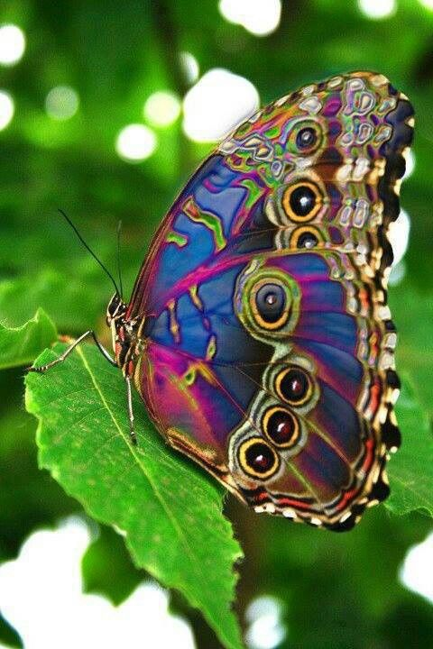 Ned The Toothpick On Twitter Good Morning Peacock Butterfly