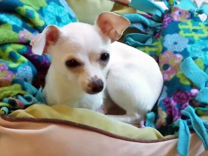 Itty bitty Chihuahua Mia (3.5 pounds!) is our @SeattleAnimal pet of the week https://t.co/9qcbFrjV5C https://t.co/maJKQJl1uU