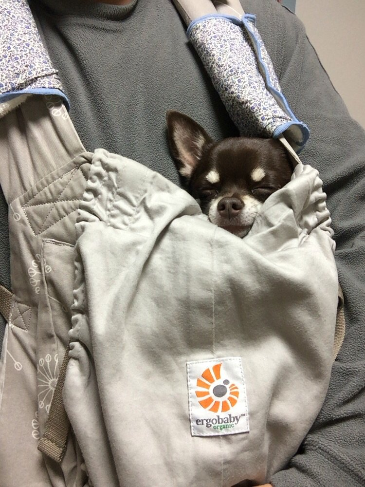 子供、抱っこひもに入れてもまったく寝ない(部屋で暴れてる)ので代わりに犬を抱っこひもに入れたらめっちゃ(犬が)寝始めた。