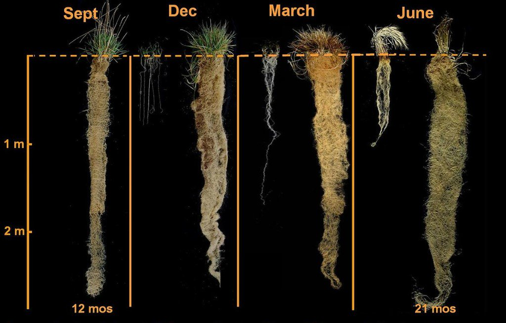 Fascinating article about the Kernza, a perennial grain similar to wheat or a superwheat https://t.co/RJEG9EtMo2 https://t.co/RItEwgI9jt