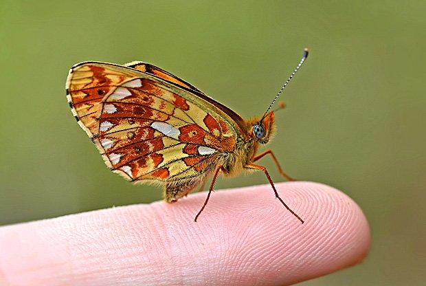 Endangered butterfly makes home in #Devon https://t.co/X6heB3FBiW @britbutterflies @ukbutterflies @savebutterflies https://t.co/lcq0apnLeJ