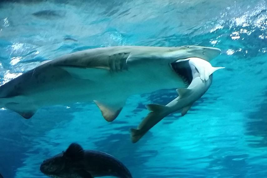 A female shark in a Seoul aquarium didn't like a male shark bumping into her. So she ate him https://t.co/HJyUaZZDZy