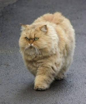 細いネコはダメだ ネコは太くないとダメだ 顔がペタンコなのも良い!と幼児が言っている いつのまに そんな価値観を https://t.co/k8m2jxMGic