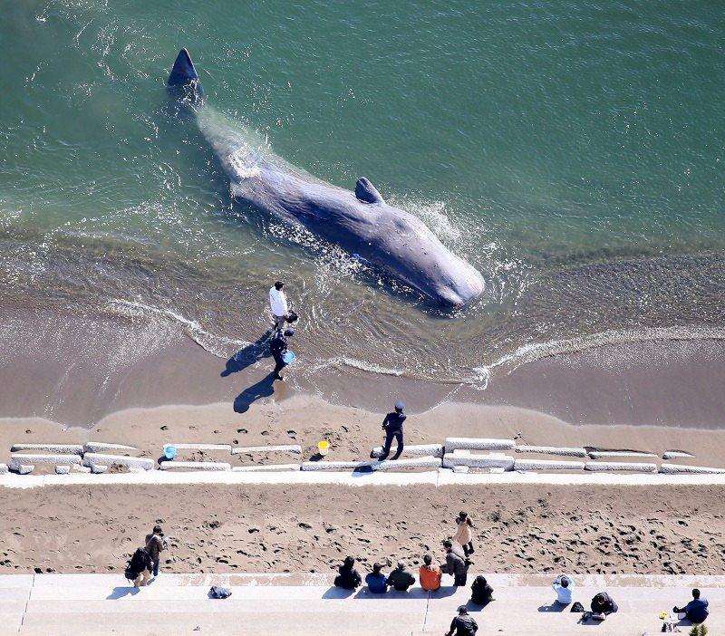 """""""20日午前9時ごろ、徳島県阿南市中林町の中林海岸の波打ち際で、打ち上げられた全長約10メートルのクジラを確認。自力で動けない状態…""""  クジラ:徳島の海岸に打ち上げられる(毎日新聞) https://t.co/yWrm4irhLZ https://t.co/sp5bhsWSWI"""
