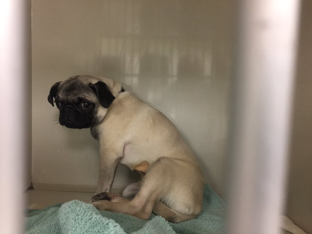 Nvh On Twitter Spay And Umbilical Hernia Correction On A Pug