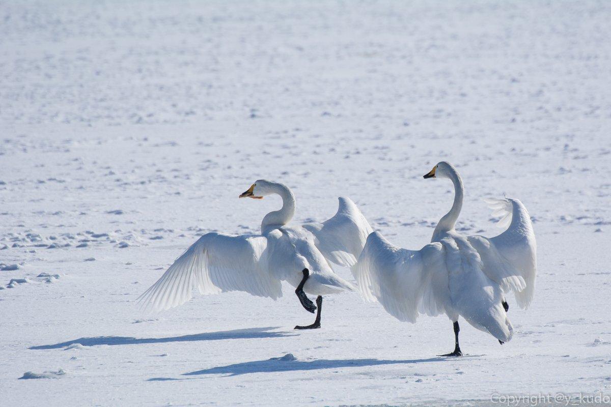 「あはは、待て待てー」「捕まえてごらんなさーい」 白鳥がきゃっきゃうふふ‥‥じゃなくて、パンの奪い合い(^^;   #岩手 #盛岡 #冬の盛岡八幡平 #野鳥 #白鳥 https://t.co/REt41CFTpv