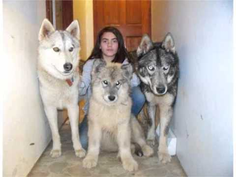 Wolf Like Dogs For Sale