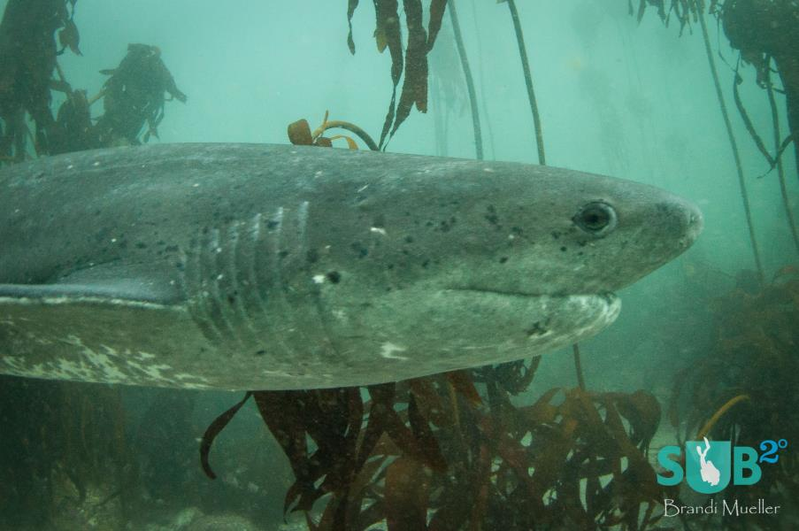 The 7 gill slits of the broadnose #cowshark .Photo by: Brandi Mueller #SouthAfrica #scuba  http:// goo.gl/JXI443  &nbsp;  <br>http://pic.twitter.com/lxl2q4y4VV