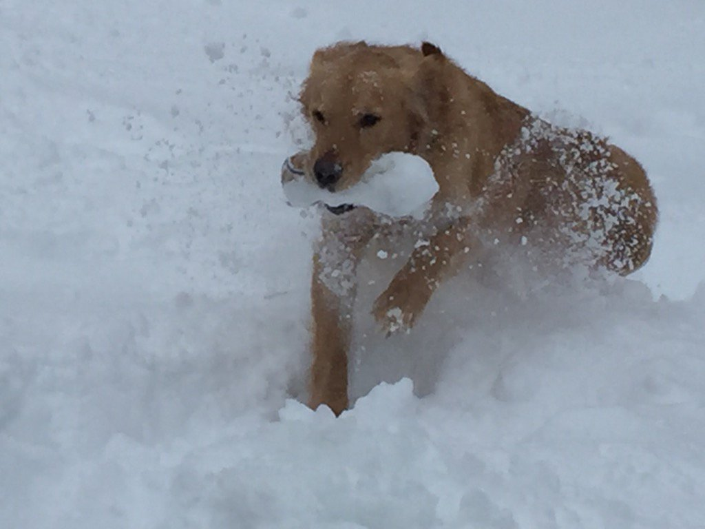 #blizzard2016  a couple feet of snow can't stop Hayden from playing fetch in Alexandria, VA https://t.co/6lZbYL9G8L
