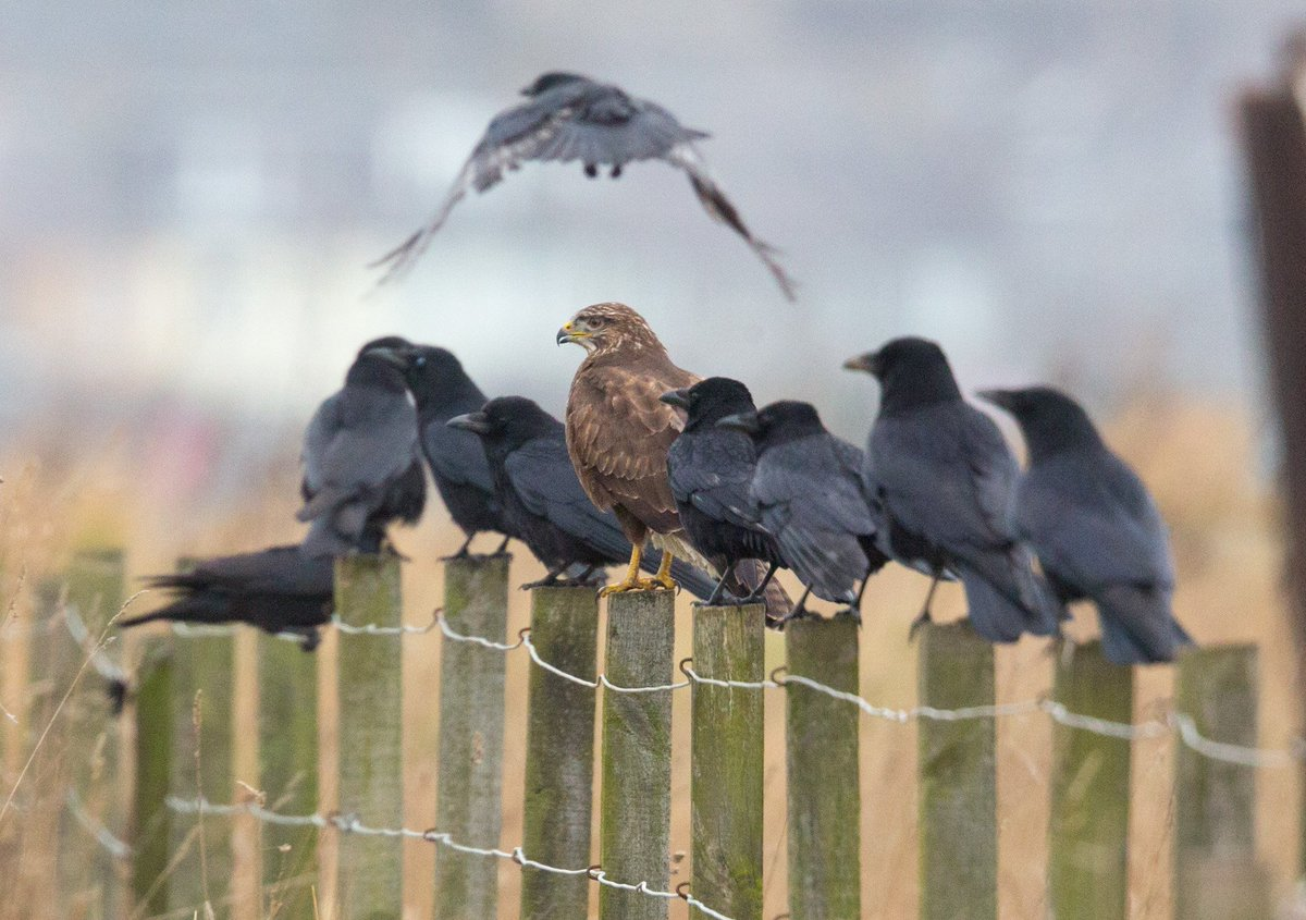 Never seen the like before - a buzzard hanging out with crows, no mobbing at all! Anyone come across this? @TetZoo https://t.co/ZSJQHMnUSx