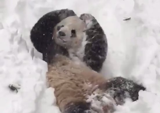 Video YouTube: Il panda felice a Washington DC con la tormenta di neve Jonas
