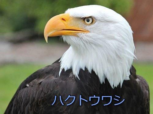 Q:アメリカの国鳥『ハクトウワシ』はなぜ横向きばかりで描かれているんですか?  A: