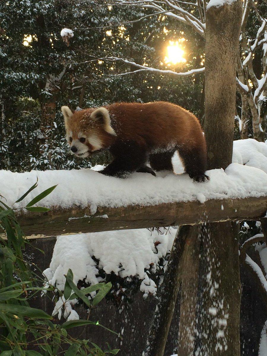 雪の日のスバルと風美の様子をお伝えしたいと思います! スバルは長野生まれで雪になれており、久しぶりの雪で楽しそうに走っていました☆ 風美は寒さがやや苦手なのでおやつのリンゴを与える時に担当者の足に前あしをのせて暖をとっていました♪
