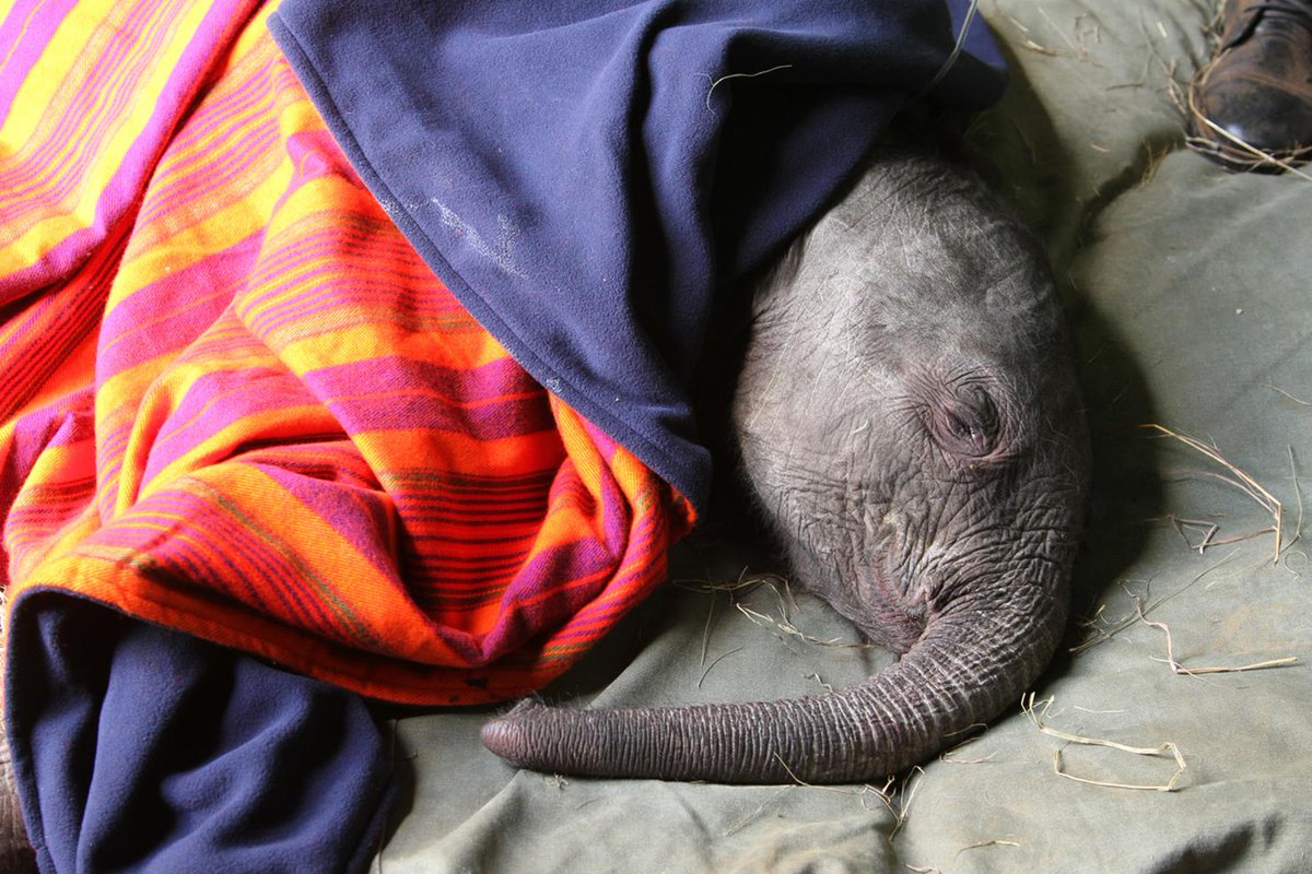 This baby #elephant lost her mother. A blanket keeps her warm & comforted at @DSWT https://t.co/aFBmXlEkHJ https://t.co/gHGDiSQRcW