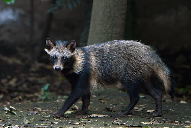 Do We Now Have Raccoon Dogs?