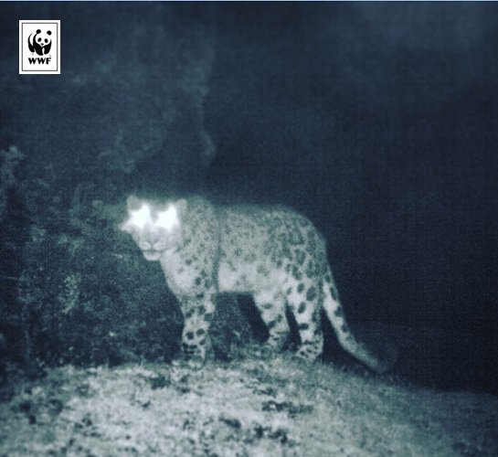 Look who we found in #Sikkim! First evidence of #snowleopards in North Sikkim. More here :https://t.co/8UETDmSvWl https://t.co/QtQLm8sbj3