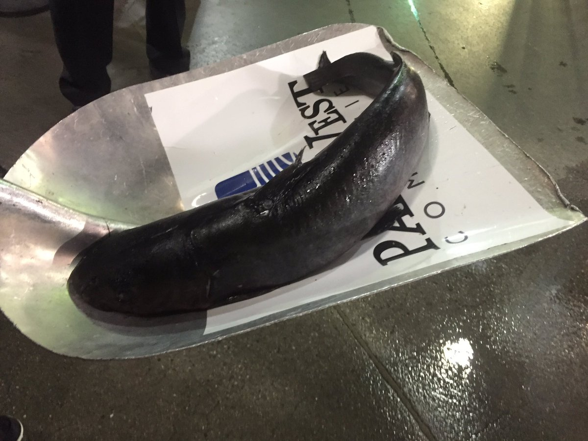 Huge Cat Fish Thrown On Ice Prior To Game 2 Between Ducks, Preds