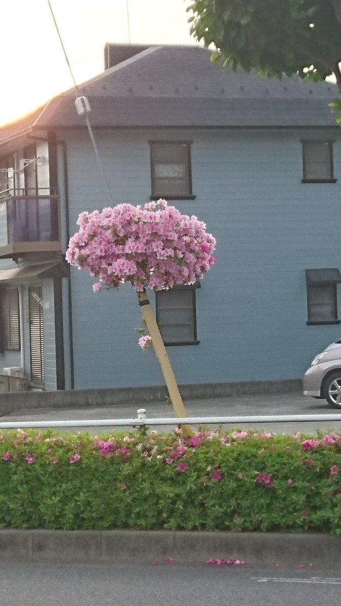 ド根性つつじ 毎年ここでこうして咲いてるが、年々この丸い花のカタマリ?が大きくなってってる 。下の本…